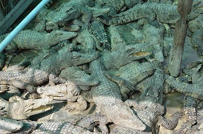 カンボジア視察で感じたワニ養殖の副業としての課題